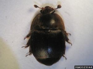 Small_hive_beetle