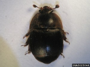 Small_hive_beetle