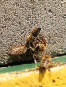 Bienen kämpfen mit Wespe